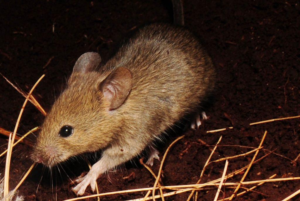 Imagem de um rato, que é um animal granívoro.
