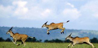 Grupo de antílopes correndo na savana